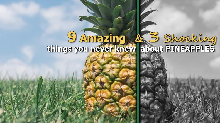 how to grow pineapples commercially