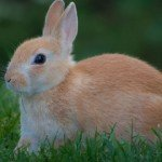 The secret of rabbits, or why rabbits don't suffer from cholesterol