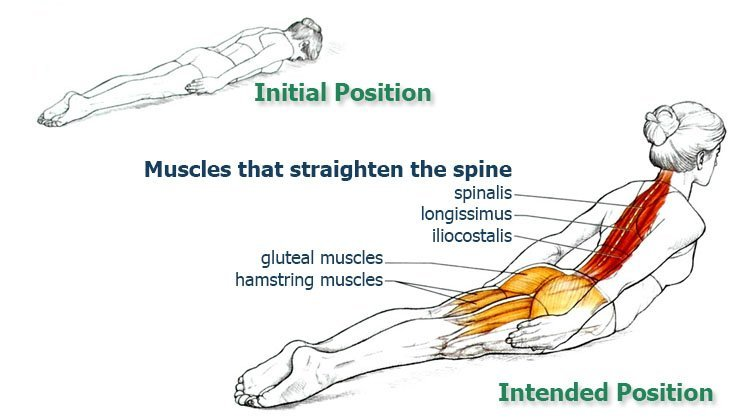 Muscles-that-straighten-the-spine