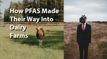 How PFAS Made Their Way Into Dairy Farms