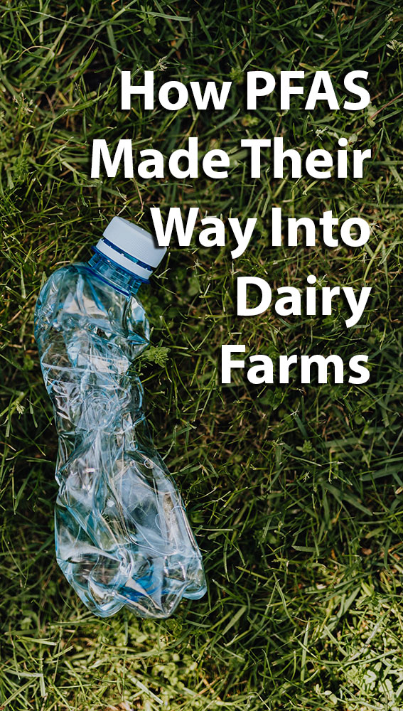 How PFAS Made Their Way Into Dairy Farms p